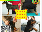 出售纯种德系杜宾犬幼犬爆胸大骨量体型完美速速下单