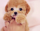 高品质泰迪熊 签协议保证健康纯种 还送狗狗用品