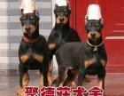 中山聚德庄犬舍 只为国内繁殖优秀的宠物狗宝宝 杜宾
