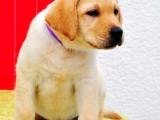 精品高品质拉布拉多幼犬热卖中期待您的来电咨询