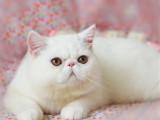 四川成都纯血加菲猫幼崽优惠出售