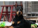 繁殖出售精品杜宾犬 结构完美优异 基因血统稳定