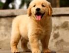 东莞哪里有卖金毛犬价格多少东莞纯种金毛犬价格