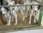 温州哪里斑点狗纯种哪里,哪里斑点狗便宜