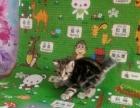 自家养的美短小猫 找粑粑麻麻