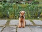 纯种万能梗幼犬出售 纯种健康 可上门挑选