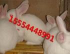 可爱的小兔 自家养的宠物兔出售 垂耳兔 白兔 黑兔 花兔