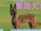杜高犬,马犬,比特,卡斯罗,格力犬,野猪克星