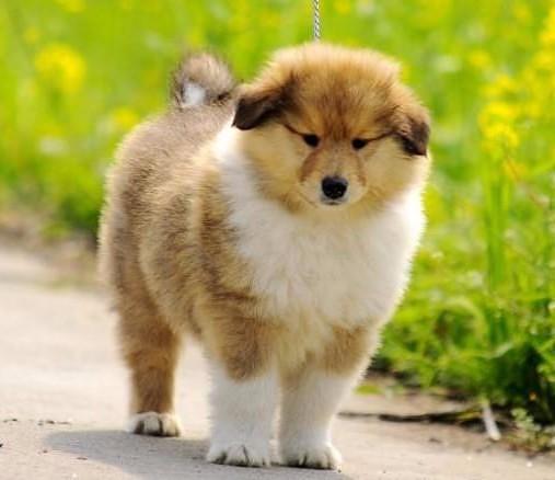 合肥 正规犬舍 种类全 保证健康 泰迪 藏獒 柯基