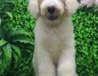 巨贵犬纯种家养繁殖巨贵犬出售精品家养活体宠物狗