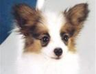 犬舍直销一精品蝴蝶犬一签协议一包养活一三个月可
