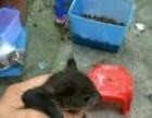急转一只乖巧听话的松鼠。
