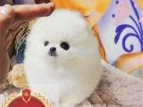 买纯种博美俊介幼犬【视频看狗 送狗上门-可签协议】