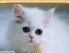 高品质纯种银渐层金吉拉幼猫 血统清晰高品质纯种银渐