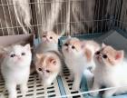 自家繁育的加菲猫出售