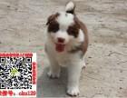 湛江边境牧羊犬什么价格求购 智商第一的边牧宠物狗养殖交易
