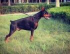 专业繁殖杜宾大型犬类 德系美系保纯种 保健康 保品质