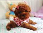 闵行哪里有泰迪犬卖 闵行泰迪犬价格 闵行泰迪犬多少钱