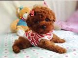 深圳龙岗哪有泰迪犬卖 深圳宝安哪有泰迪犬卖