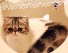 高品质 加菲猫 北京专业繁育 签协议 三针齐全