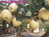 维纳斯黄金苹果苗基地规格齐全