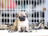 银川巴哥价格 银川巴哥出售 银川哪里卖便宜的巴哥犬