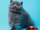 纯种蓝猫宝宝品种多实物拍摄价格实惠疫苗全