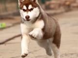 长沙哪里有纯种可以签协议包犬瘟的哈士奇在那个位置
