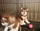 本地正规犬场一出售巨型阿拉斯加幼犬一签协议