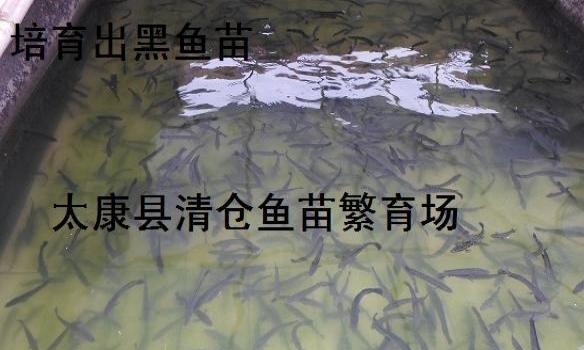河南专业淡水鱼苗培育专业淡水鱼苗养殖专业鱼苗管理