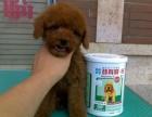 上门看狗低价特惠 泰迪熊犬 品种齐全 签协议包健康