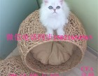 纯种长毛宠物猫金吉拉活体幼毛猫