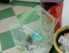 金花松鼠,带笼子带玩具100百