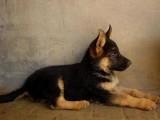 北京哪有德国黑背犬卖 北京德国黑背犬多少钱 德国黑背犬图片