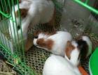 荷兰猪一家子 猪麻麻带3只小猪