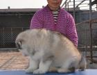 高品质巨型 红色 黑色阿拉斯加雪橇犬犬舍诚信出售