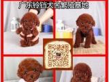 实体狗场-纯种贵宾犬-高品质名犬繁殖基地-售后保障可送货