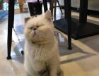 【异国短毛•加菲】专业繁殖宠物猫猫