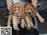 在哪里买纯种的可卡幼犬 可卡幼犬最低多少钱