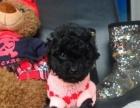 深红色泰迪犬 超小体型超高品质
