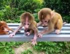 袖珍石猴宠物猴性格是怎么样的,性格温顺吗