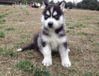 南京纯种哈士奇价格 南京哪里能买到纯种哈士奇犬