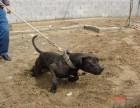 比特犬价格比特幼犬多少钱