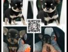 优良品质自家犬场繁殖吉娃娃包纯种健康可以上门视频挑选签协议