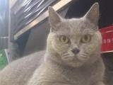 出售4只一公三母品相好的成年猫