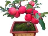 山东临沂盆栽苹果批发 盆栽果树 果树盆景 产地直销 低