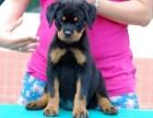 北京犬舍出售纯种罗威纳幼犬赛级罗威那宠物狗