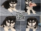 上海狗舍直销 纯种健康阿拉斯加 西伯利亚雪橇犬阿拉斯加幼犬