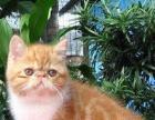 免费赠送求好心人来领养纯种加菲猫