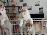 五星犬舍出售哈士奇宝宝 健康纯种